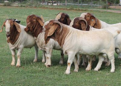 boer-goats-1