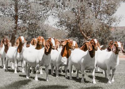 boer-goat-kle-2