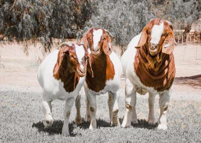 boer-goat-kle-4