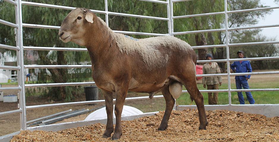 Meatmaster Sheep at Karoo Livestock Exports