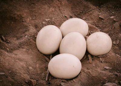 ostrich-eggs-kle-1