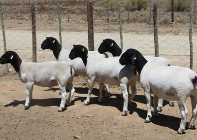 Swartkop Dorper Sheep Karoo Livestock Export