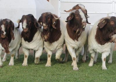 boer-goat-kle-5