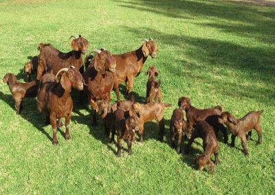 Kalahari Reds at Karoo Livestock Exports
