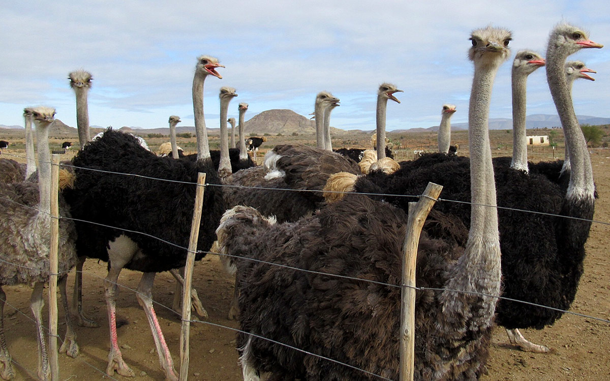 Ostriches at Karoo Livestock Exports Oudtshoorn