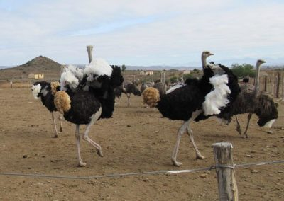 ostriches-kle-5
