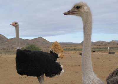 ostriches-kle-8